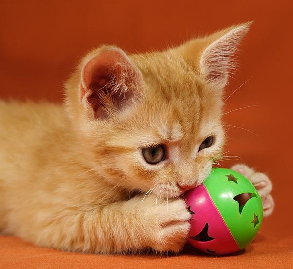 Des jeux alimentaires pour la santé de votre chat