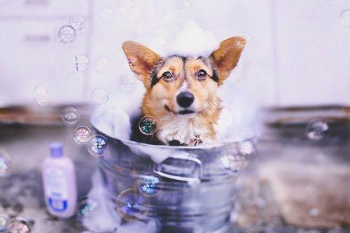 laver son chien, lui donner un bain